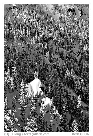 Pine forest on slope in winter. Crater Lake National Park (black and white)