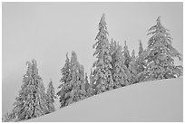 Snow-covered pine trees on a hill. Crater Lake National Park, Oregon, USA. (black and white)