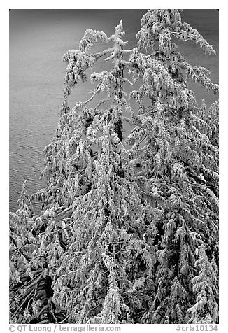 Snow-covered trees and lake waters at sunrise. Crater Lake National Park (black and white)