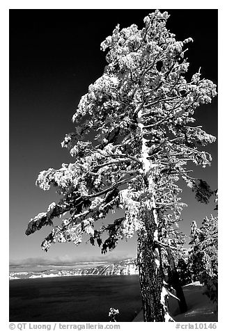 Pine tree with fresh snow on  lake rim. Crater Lake National Park (black and white)