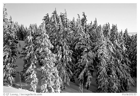 Conifers with fresh snow and sunset light. Crater Lake National Park (black and white)