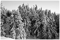 Conifers with fresh snow and sunset light. Crater Lake National Park ( black and white)