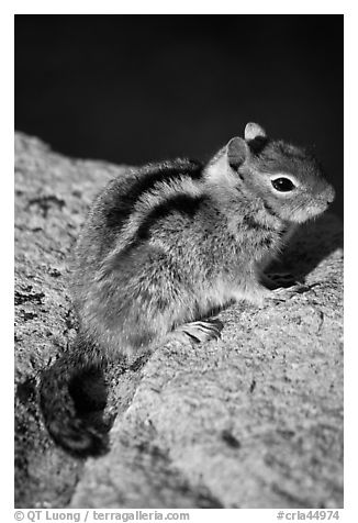 Ground squirel. Crater Lake National Park (black and white)