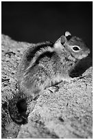 Ground squirel. Crater Lake National Park, Oregon, USA. (black and white)