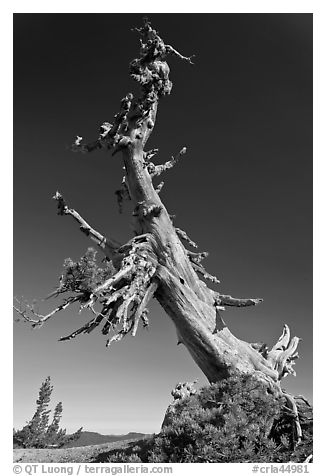 Ancient Whitebark pine and lichen. Crater Lake National Park (black and white)