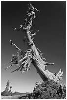 Ancient Whitebark pine and lichen. Crater Lake National Park ( black and white)