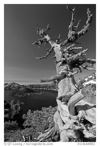 Whitebark pine tree and lake. Crater Lake National Park (black and white)
