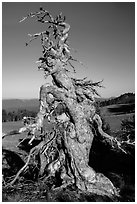 Gnarly whitebark pine tree. Crater Lake National Park ( black and white)