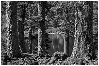 Western Hemlock (Tsuga mertensiana) trunks, Wizard Island. Crater Lake National Park ( black and white)