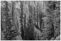 Hemlock and spires of fossilized ash in Munson Creek canyon. Crater Lake National Park ( black and white)
