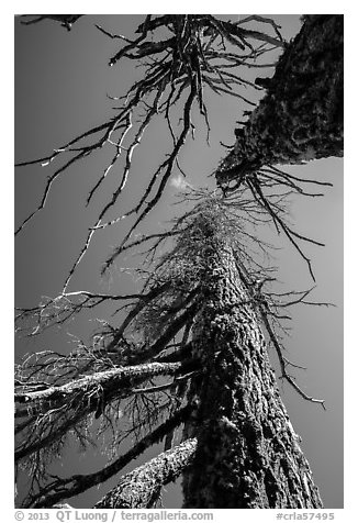 Looking up trees skeletons. Crater Lake National Park (black and white)