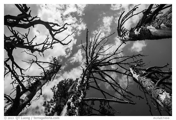 Looking up whitebark pine tree skeletons. Crater Lake National Park (black and white)
