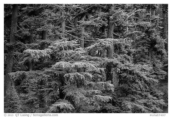 Western Hemlock forest. Crater Lake National Park (black and white)