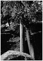 Pine trees with yellowed leaves, Cedar Grove. Kings Canyon National Park ( black and white)