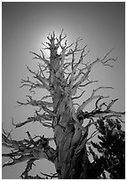 Dead lodgepole pine tree. Kings Canyon National Park, California, USA. (black and white)