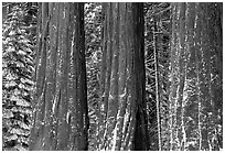 Three Sequoias trunks in Grant Grove, winter. Kings Canyon National Park, California, USA. (black and white)