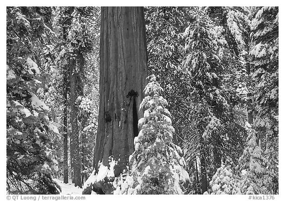 Sequoias in Grant Grove, winter. Kings Canyon National Park (black and white)