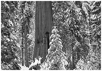 Sequoias in Grant Grove, winter. Kings Canyon National Park, California, USA. (black and white)