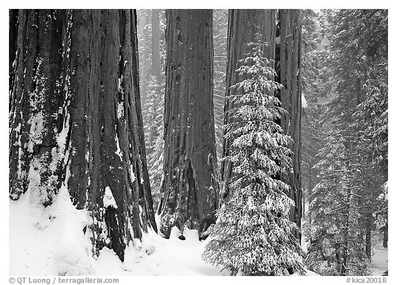 Sequoias in winter snow storm, Grant Grove. Kings Canyon National Park (black and white)