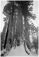 Giant Sequoia trees (Sequoia giganteum) in winter, Grant Grove. Kings Canyon National Park, California, USA. (black and white)