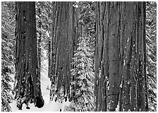 Sequoias (Sequoiadendron giganteum) and pine trees covered with fresh snow, Grant Grove. Kings Canyon National Park, California, USA. (black and white)