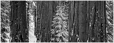 Sequoias grove in winter. Kings Canyon National Park (Panoramic black and white)