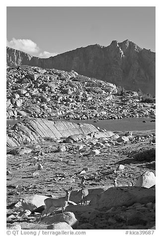 Deer in alpine terrain, Dusy Basin, afternoon. Kings Canyon National Park (black and white)