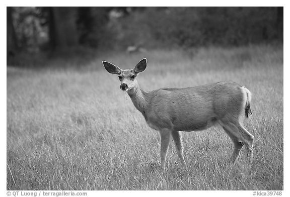 Deer in Big Pete Meadow, Le Conte Canyon. Kings Canyon National Park (black and white)