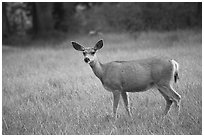 Deer in Big Pete Meadow, Le Conte Canyon. Kings Canyon National Park, California, USA. (black and white)