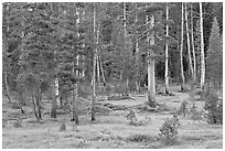 Pine trees in Big Pete Meadow, Le Conte Canyon. Kings Canyon National Park, California, USA. (black and white)