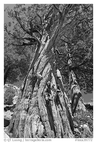 Pine tree, Le Conte Canyon. Kings Canyon National Park (black and white)
