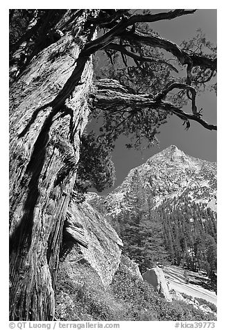 Pine tree and peak, Le Conte Canyon. Kings Canyon National Park (black and white)