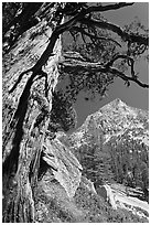 Pine tree and peak, Le Conte Canyon. Kings Canyon National Park, California, USA. (black and white)