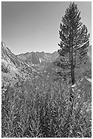 Fireweed and pine tree above Le Conte Canyon. Kings Canyon National Park ( black and white)