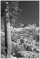 Pine tree, Mt Giraud chain, and moon, afternoon. Kings Canyon National Park, California, USA. (black and white)
