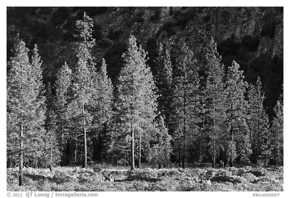 Pine trees and cliff in shade, Cedar Grove. Kings Canyon National Park (black and white)