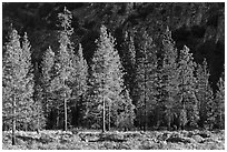 Pine trees and cliff in shade, Cedar Grove. Kings Canyon National Park ( black and white)