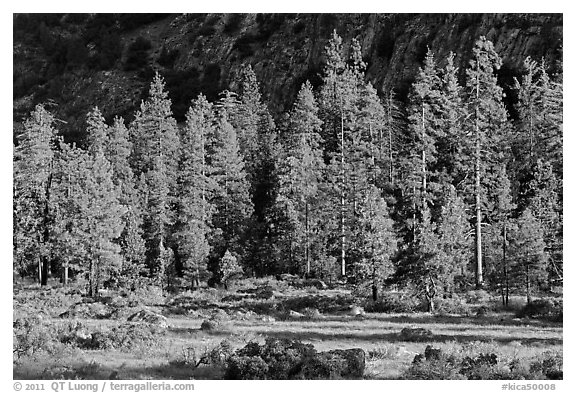 Meadow, lodgepole pines, and cliff early morning. Kings Canyon National Park (black and white)