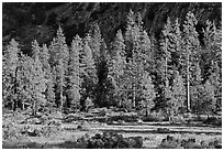 Meadow, lodgepole pines, and cliff early morning. Kings Canyon National Park, California, USA. (black and white)