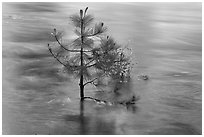 Flooded pine sappling and reflections. Kings Canyon National Park ( black and white)