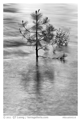 Pine sappling in middle of river. Kings Canyon National Park (black and white)