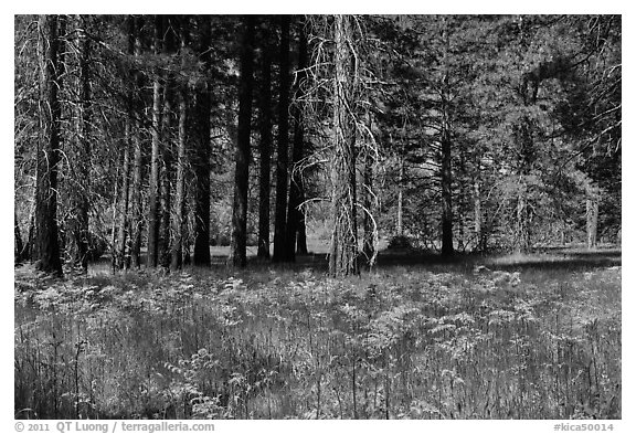 Ferns and trees bordering Zumwalt Meadows. Kings Canyon National Park, California, USA.