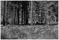 Ferns and trees bordering Zumwalt Meadows. Kings Canyon National Park, California, USA. (black and white)