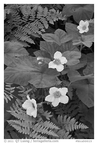 Close-up of ferns and flowers. Kings Canyon National Park (black and white)