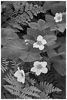 Close-up of ferns and flowers. Kings Canyon National Park, California, USA. (black and white)
