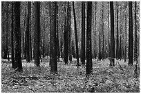 Burned forest and ferns. Kings Canyon National Park, California, USA. (black and white)