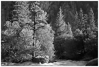 Stream and pine trees in spring. Kings Canyon National Park ( black and white)