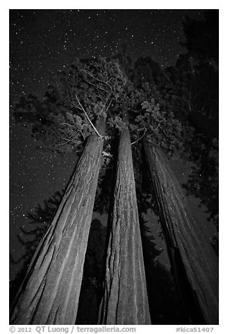 Group of sequoia trees under the stars. Kings Canyon National Park (black and white)