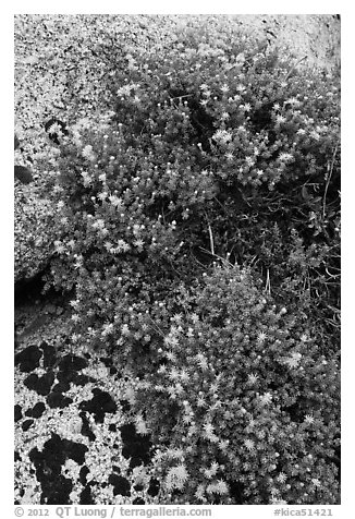 Flowers on granite crack. Kings Canyon National Park (black and white)
