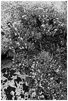 Flowers on granite crack. Kings Canyon National Park, California, USA. (black and white)